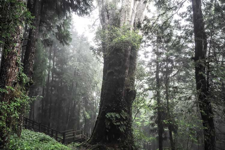 alishan forest | day six in taiwan