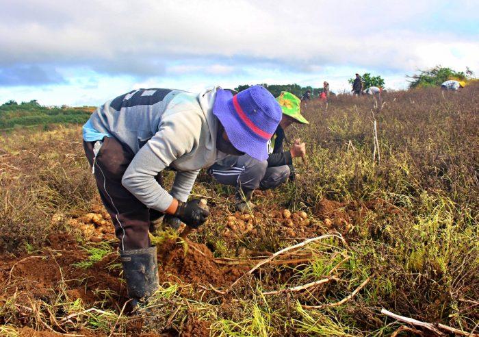 Harvesting Potato - Bauko Mountain Province