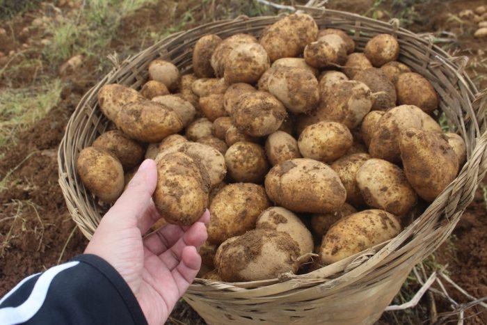 Potatoes in Bauko