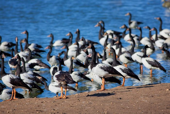 Serendip Lake and Magpie Geese by fir0002 via Wikipedia CC